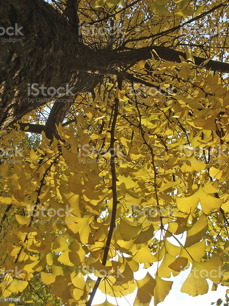 Close up of ginkgo Tree royalty-free stock photo