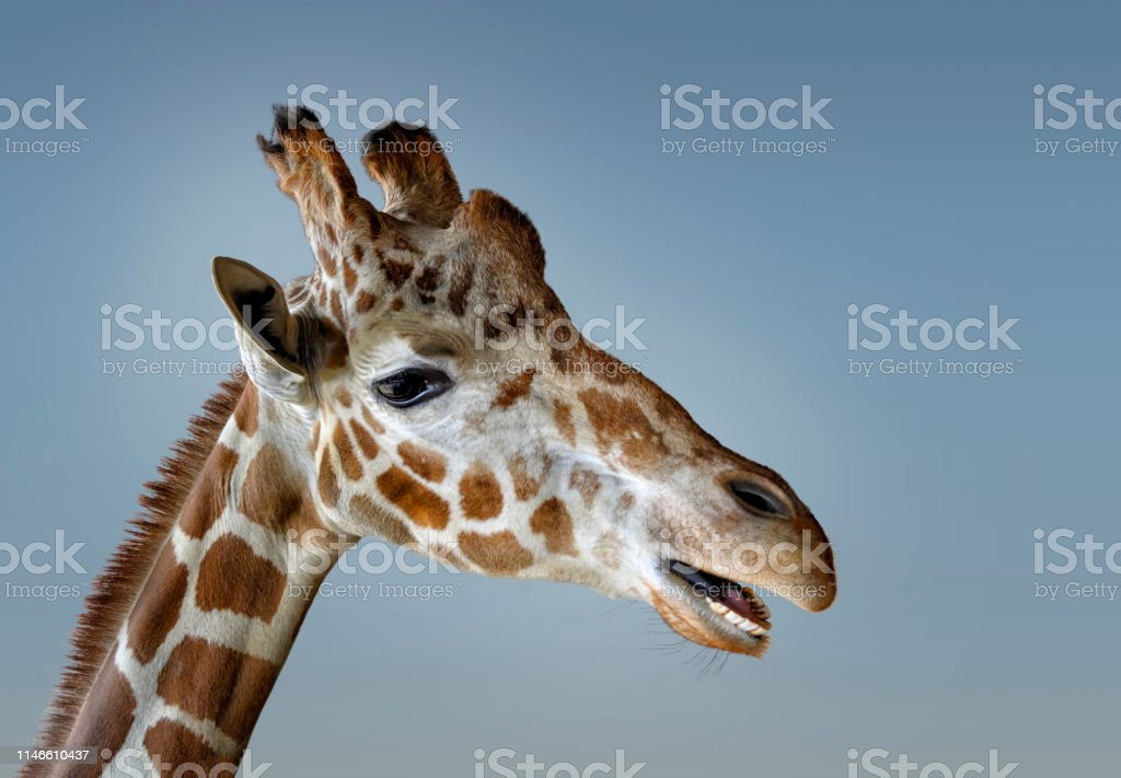 Close up of giraffe head with mouth open