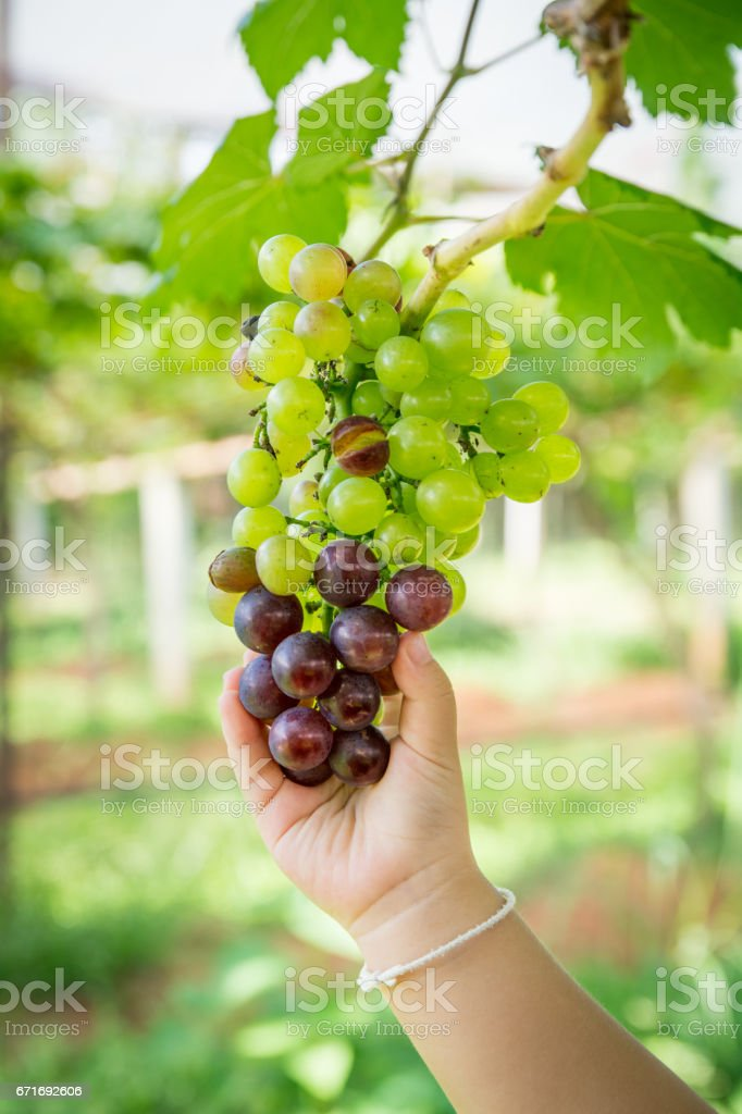 Close up of girl holding a bunch of grapes in a vineyard. stock photo