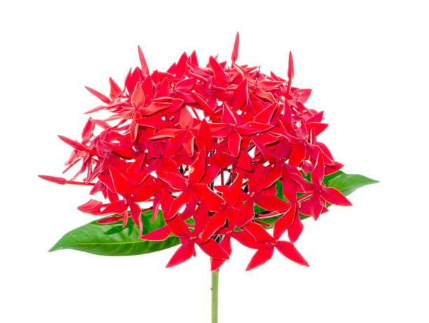 close-up van glanzende ixora-bloem op witte achtergrond - pauwenkers stockfoto's en -beelden