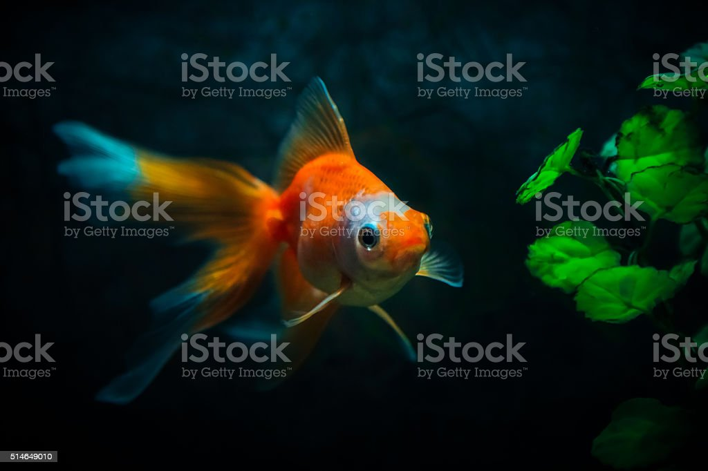 Close up of gold fish in natural look aquarium stock photo