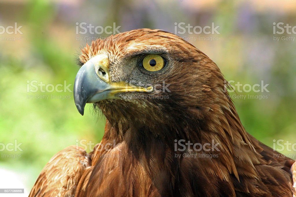 Close up of golden eagle head stock photo
