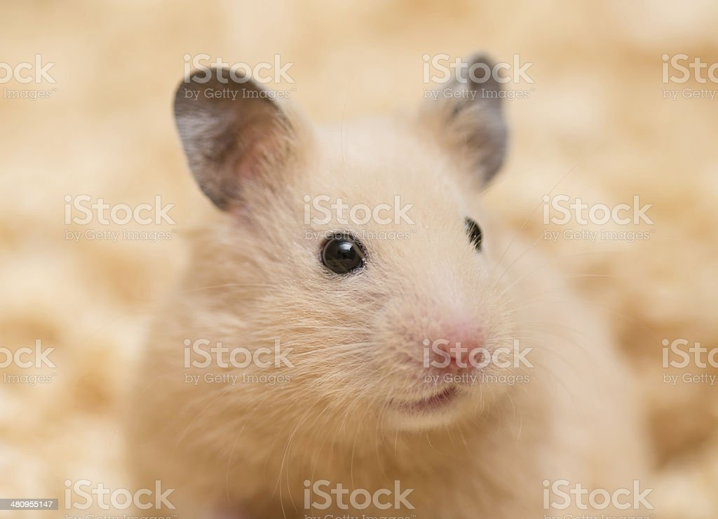 Close up of Golden Hamster stock photo
