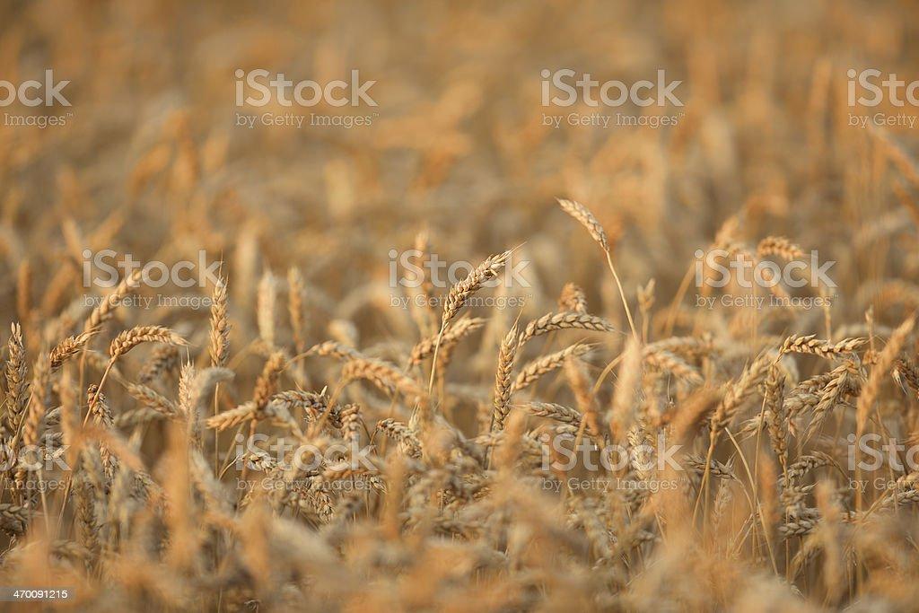 Close up of golden, mature wheat field stock photo