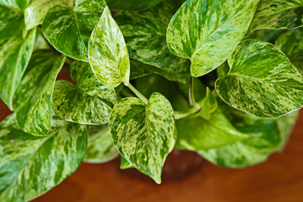 Close up of Golden Pothos in a tree vase on wooden table, white and green leaves texture stock photo