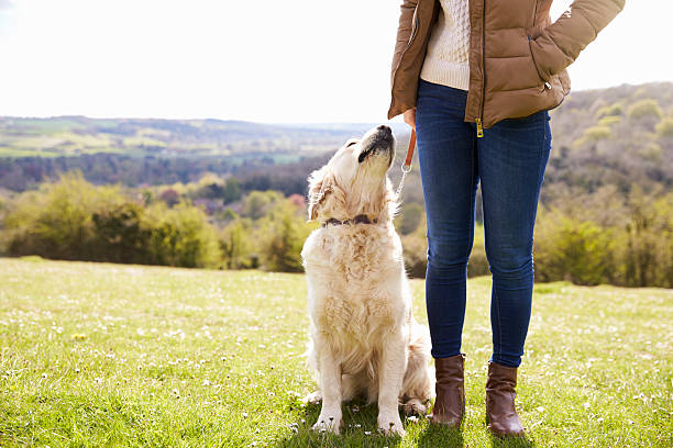 close up of golden retriever on walk in countryside - canidés photos et images de collection
