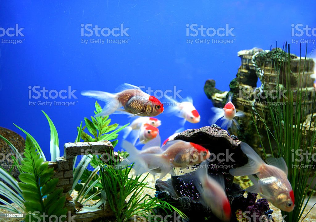Close up of goldfish swimming in their tank royalty-free stock photo