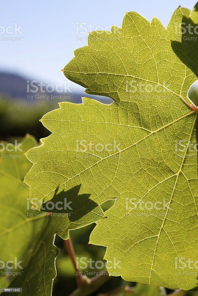 Close up of grape leaf royalty-free stock photo