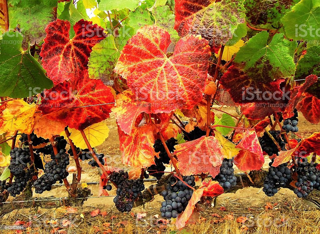 Close up of grapevine stock photo