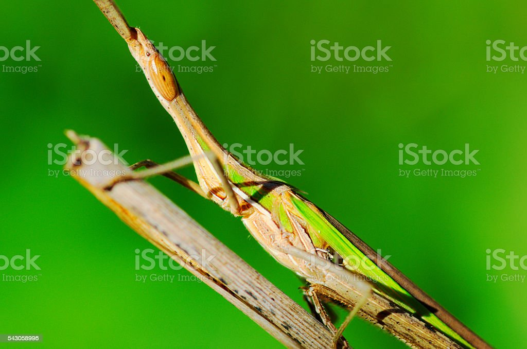 Close up of grasshopper on plain green background stock photo