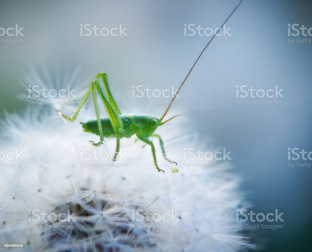 Close up of Grasshopper riding on a dandelion stock photo