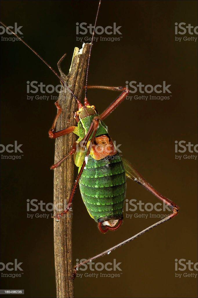 close up of grasshopper  Tettigoniidae on royalty-free stock photo
