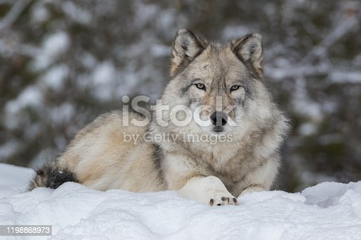 Close-up portrait of Grey Wolf quietly resting in snow with blurred trees in background