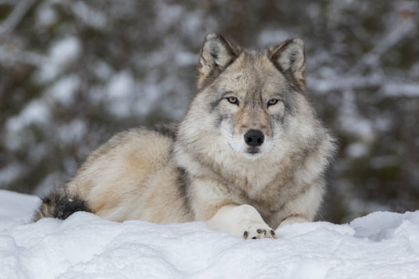 close up of gray wolf laying down in snow and looking at camera - lupo foto e immagini stock