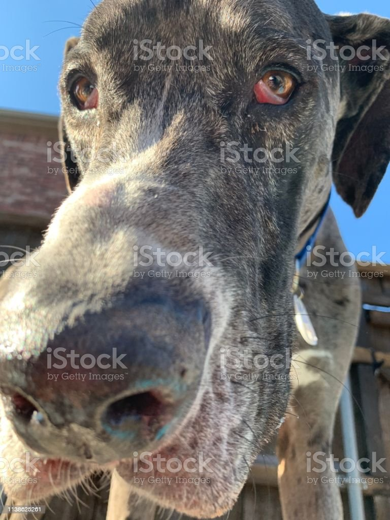 Close Up Of Great Dane Puppy Snout Stock Photo Download Image Now Istock