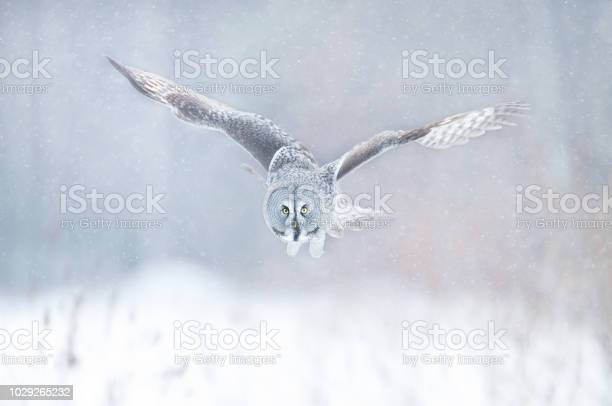 Close up of great grey owl in flight in winter picture id1029265232?b=1&k=6&m=1029265232&s=612x612&h=8k5uhp9hfi0qtgt7jo3r4krcqkk6lqz onl4iy1s5q8=