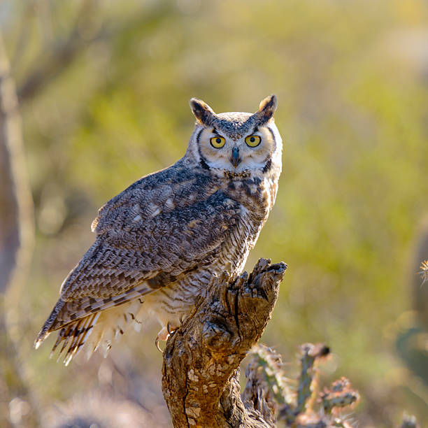 close up of great horned owl in nature - amerikaanse oehoe stockfoto's en -beelden