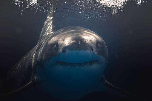 Close up of Great White Shark face and mouth swimming beneath the surface