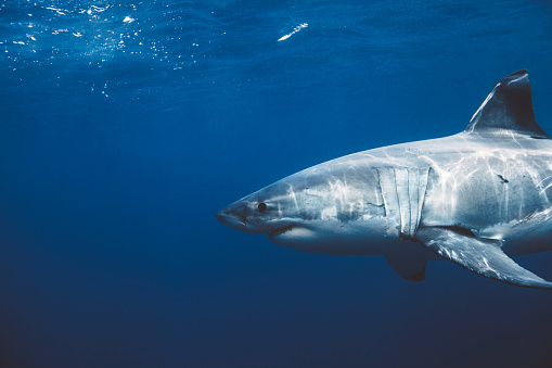 Close up of Great White Shark swimming beneath the surface