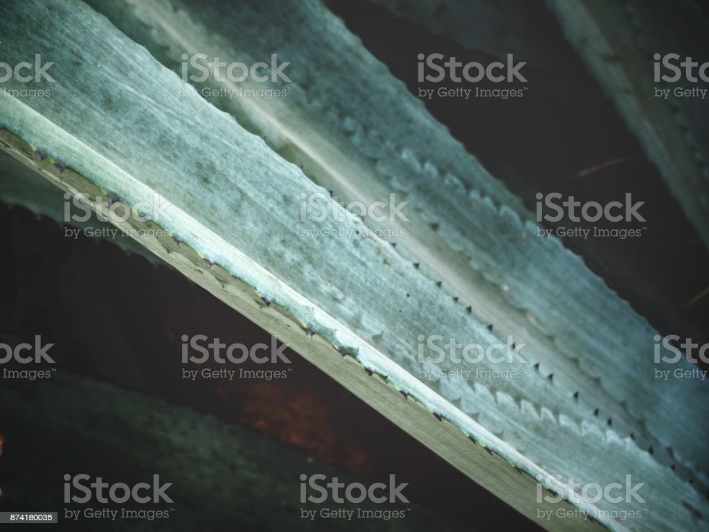 Close up of green agave stock photo