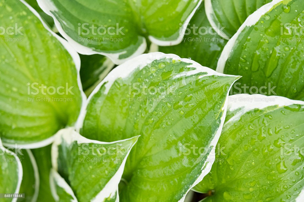 Close Up Of Green And White Hosta Leaves With Raindrops Stock Photo