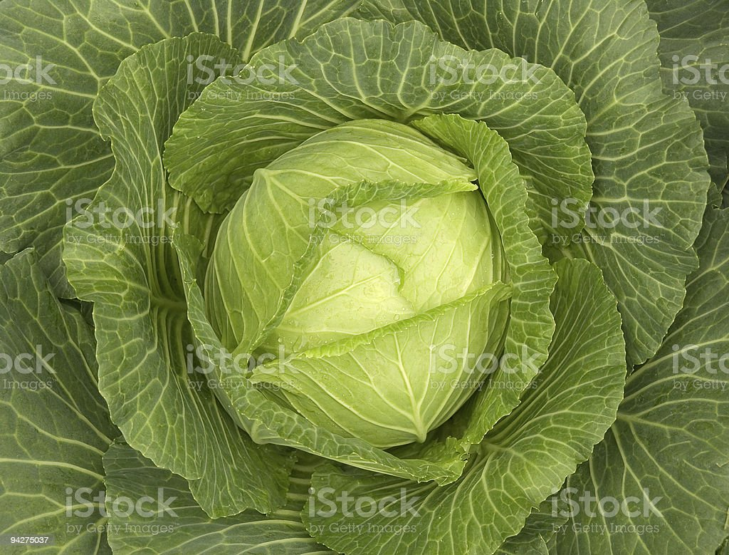 Close up of green cabbage leaves stock photo