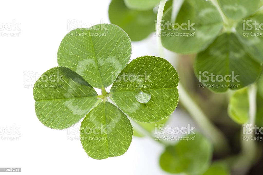 Close up of green four leaf clover with water droplet stock photo