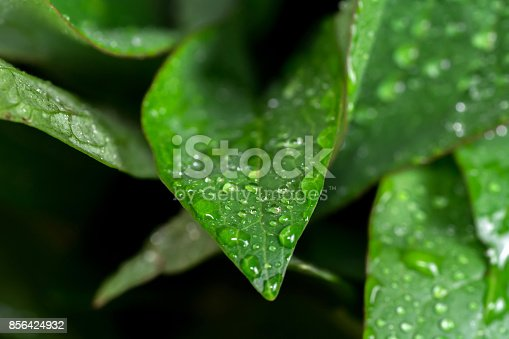 Close up of green fresh peony leaves. Spring leaves with drops of dew or water
