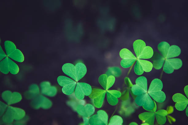 Close up of green fresh shamrock leaves on dark background Close up of green fresh bright shamrock leaves on blurred dark background. Rural nature view. Spring Holiday floral backdrop. Spring St. Patrick's Day Clovers background. Open composition. Copy space. st patricks day stock pictures, royalty-free photos & images