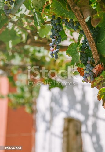 Close up of green grapes in wineyard in Greece.