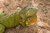 Close up of green iguana on the ground.