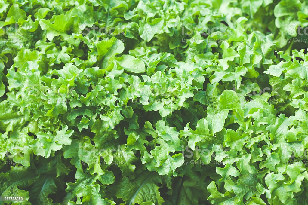 Close up of green lettuce stock photo