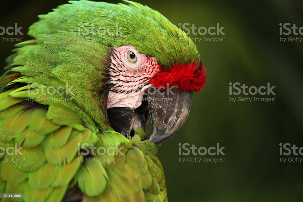 Close up of Green Macaw parrot's head, Mexico. stock photo