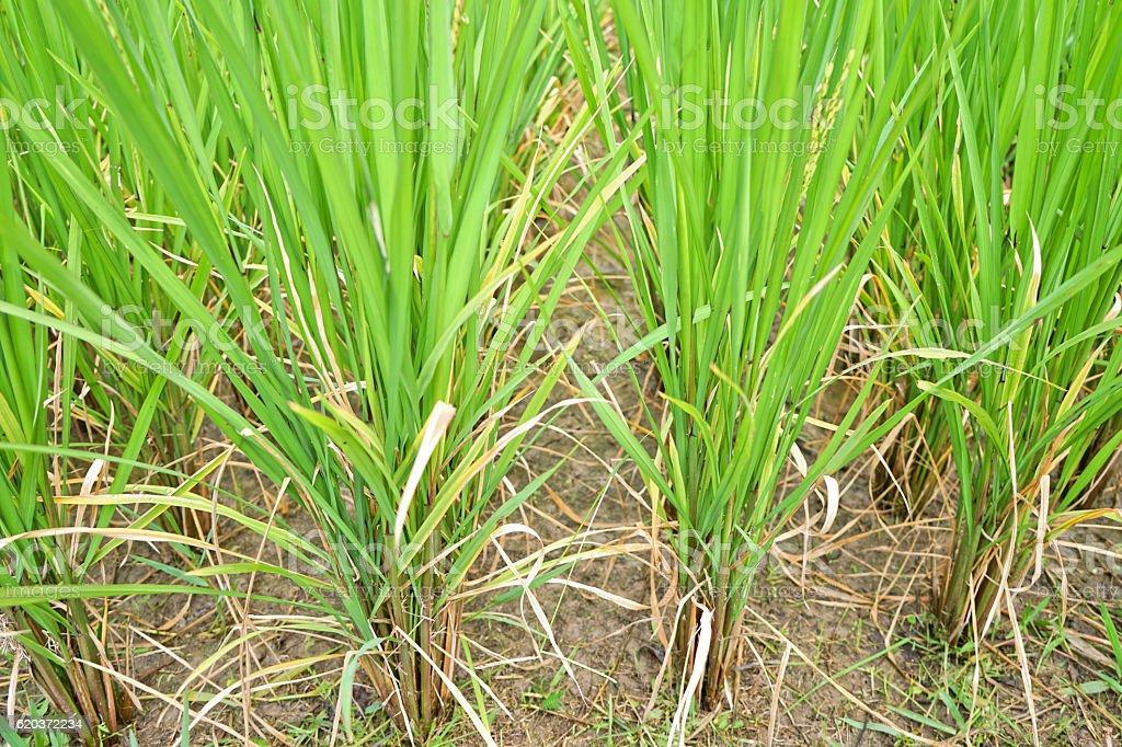 Zbliżenie zielony Ryż niełuskany. zbiór zdjęć royalty-free