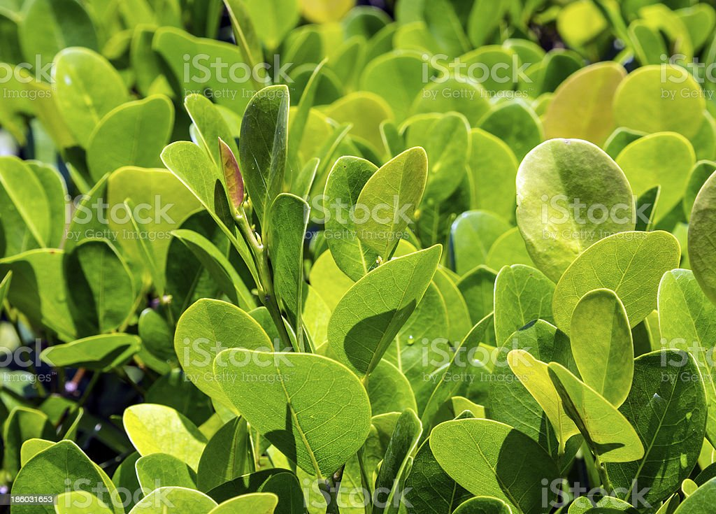 close up of green privet hedge twigs with leafs. stock photo