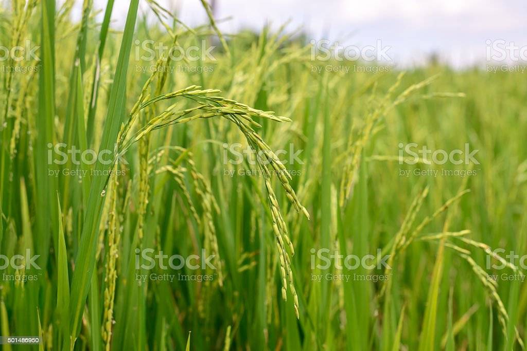 Close up of green rice paddy in rice field. stock photo