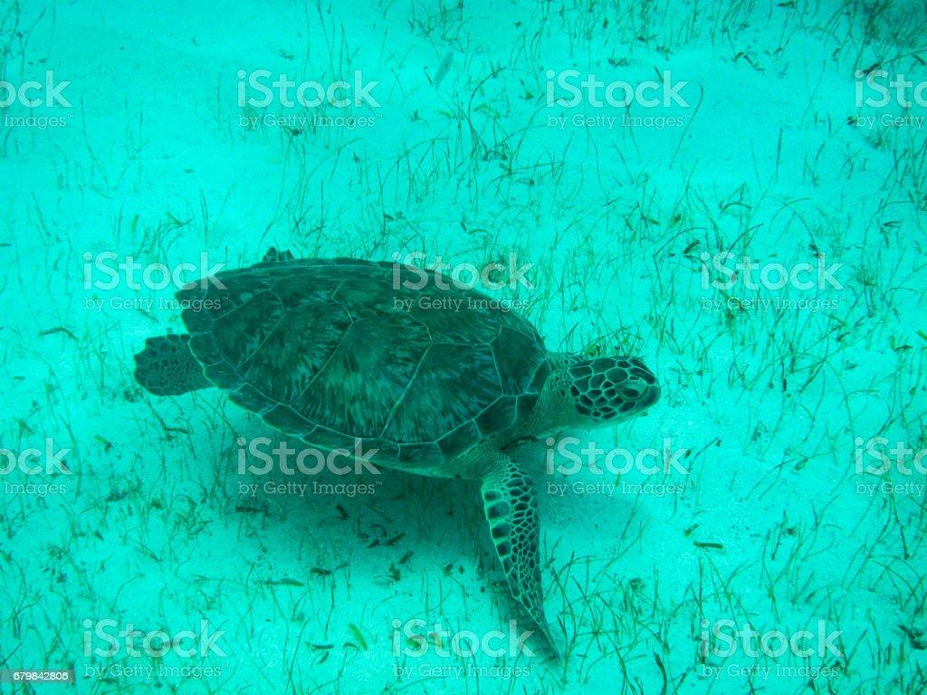 Close up  of Green Sea Turtle (Chelonia mydas) in Sunlit, Shallow Caribbean Seas. stock photo