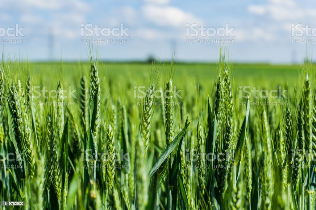A Close Up Of Green Wheat Growing In A Field - Swaffham Prior, Cambridgeshire, England, UK (27 May 2017) stock photo