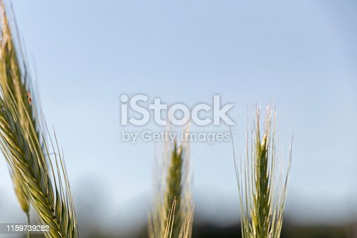 519188550 istock photo Close up of green wheat on a warm soft spring sun. Wheat plant detail in Agricultural field 1159739282