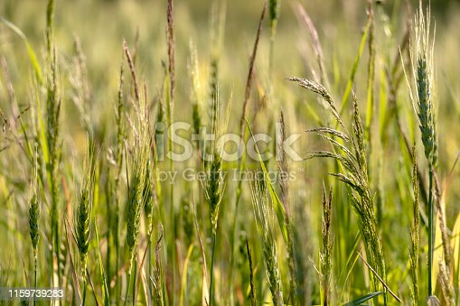 519188550 istock photo Close up of green wheat on a warm soft spring sun. Wheat plant detail in Agricultural field 1159739283