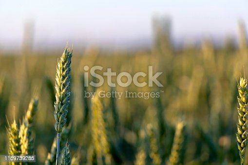 519188550 istock photo Close up of green wheat on a warm soft spring sun. Wheat plant detail in Agricultural field 1159739285