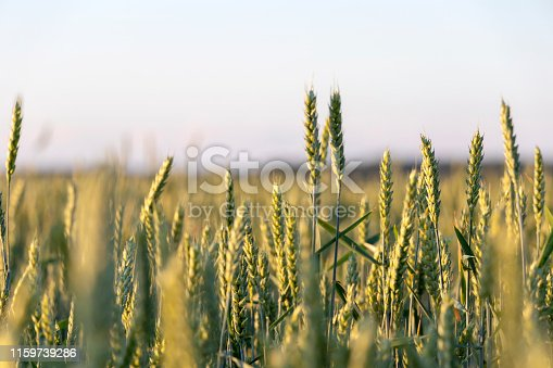 519188550 istock photo Close up of green wheat on a warm soft spring sun. Wheat plant detail in Agricultural field 1159739286