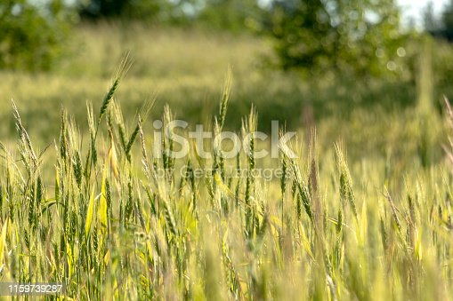 519188550 istock photo Close up of green wheat on a warm soft spring sun. Wheat plant detail in Agricultural field 1159739287