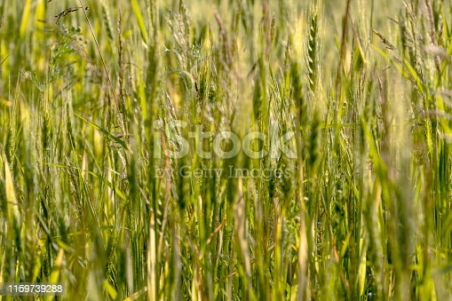 519188550 istock photo Close up of green wheat on a warm soft spring sun. Wheat plant detail in Agricultural field 1159739288