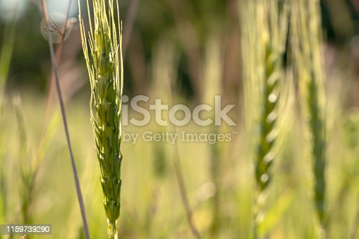 519188550 istock photo Close up of green wheat on a warm soft spring sun. Wheat plant detail in Agricultural field 1159739290