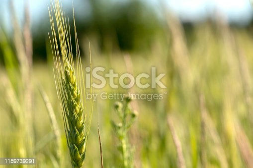 519188550 istock photo Close up of green wheat on a warm soft spring sun. Wheat plant detail in Agricultural field 1159739291