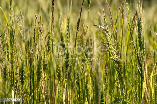 519188550 istock photo Close up of green wheat on a warm soft spring sun. Wheat plant detail in Agricultural field 1159739292