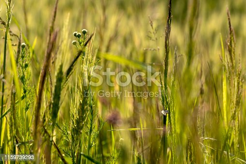 519188550 istock photo Close up of green wheat on a warm soft spring sun. Wheat plant detail in Agricultural field 1159739293