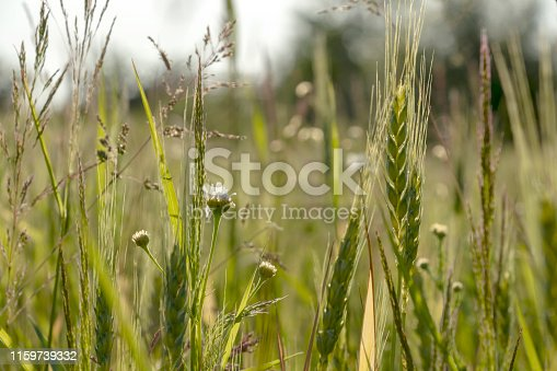 519188550 istock photo Close up of green wheat on a warm soft spring sun. Wheat plant detail in Agricultural field 1159739332