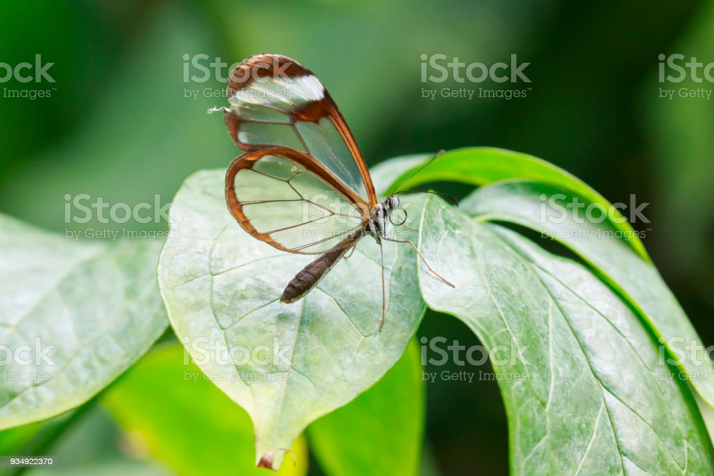 Close Up Of Greta Oto The Glasswinged Butterfly Stock Photo More